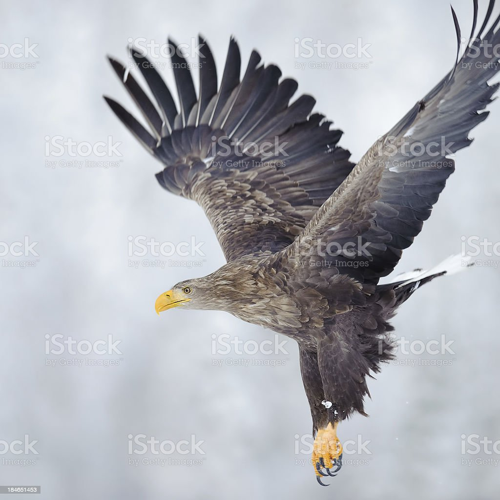 An Eagle landing on a gray background stock photo