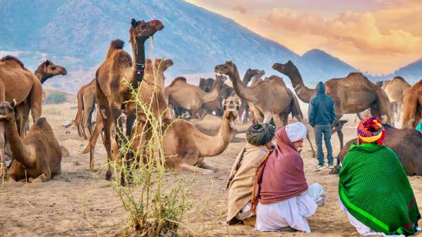 An early morning desert scene, with camel traders sitting and looking at a herd of camels at the Pushkar Camel Fair in Rajasthan, India. stock photo