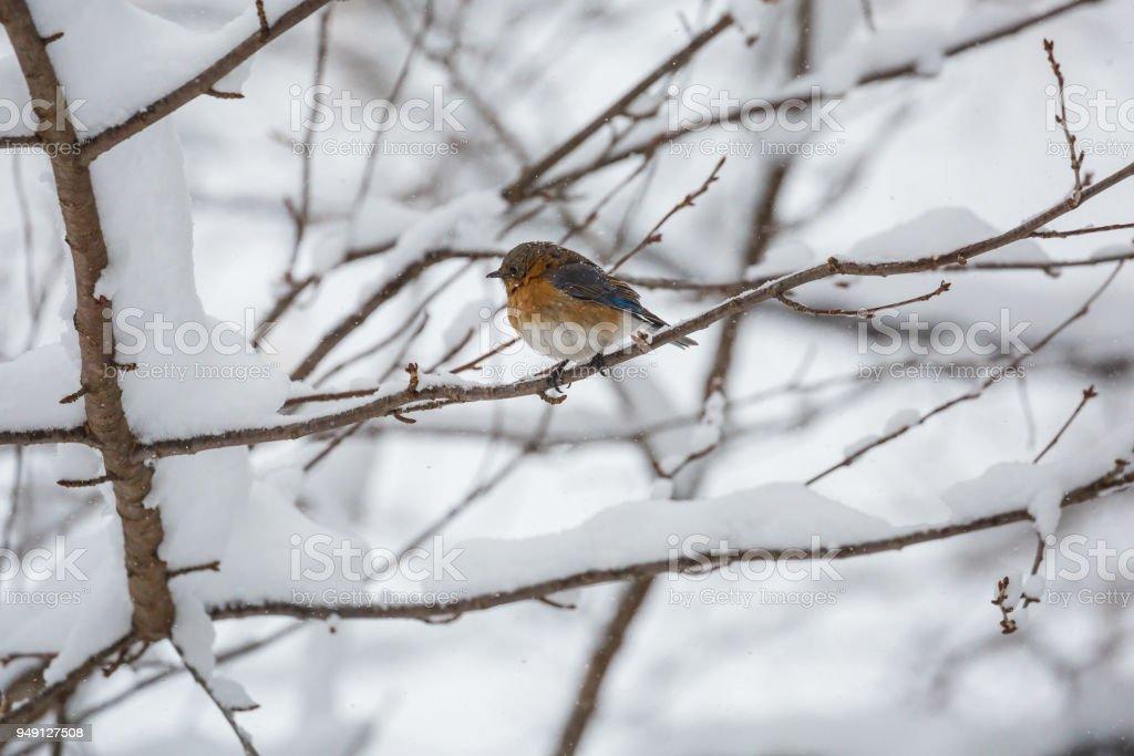 An Eastern Bluebird (Sialia sialis) In a Snowstormr stock photo