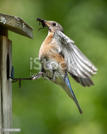 A female eastern bluebird ready to feed her young an insect