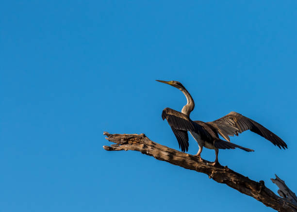 an eastern reef egret amongst perched on a tree limb, nt, australia - janet k scott stock pictures, royalty-free photos & images