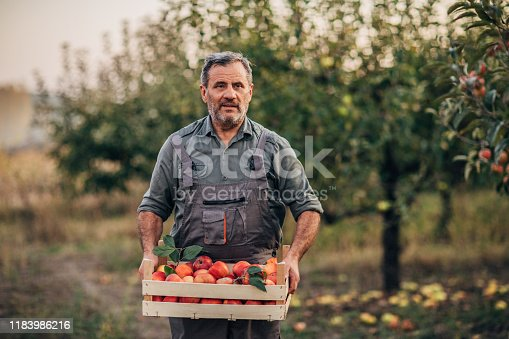istock An elderly farmer carries apples through an orchard 1183986216