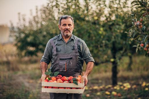 An elderly farmer carries apples through an orchard