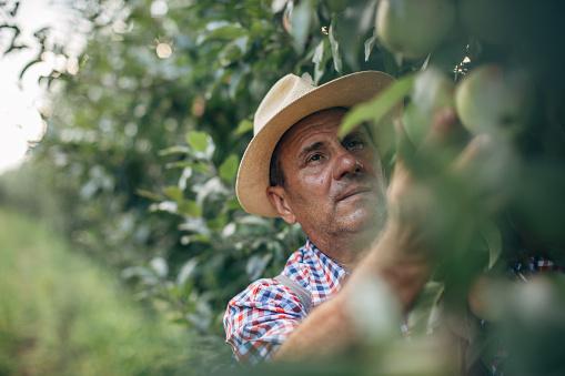 An elderly farmer picks a ripe apple