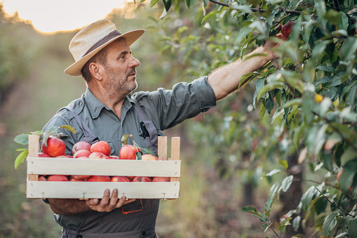 istock An elderly farmer picks an apple in his orchard 1183986154