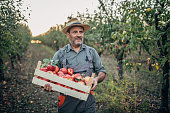 An elderly farmer picks an apple in his orchard