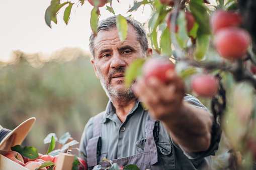 istock An elderly farmer picks an apple in his orchard 1183986319
