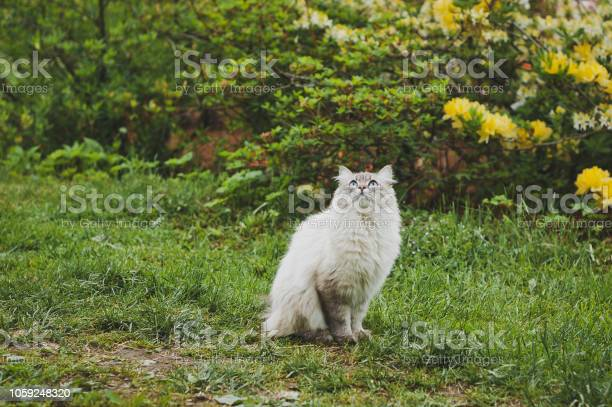 An elderly siberian cat 1546 picture id1059248320?b=1&k=6&m=1059248320&s=612x612&h=hugwikx8gerpixl9ksyeibpt3r 0x6opnhahg5hp 5e=