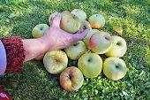 An elderly woman gardener harvests a crop of apples . Sunny autumn October day  garden shot