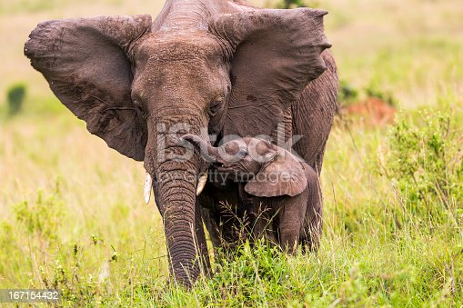 African Elephant and baby: Teaching in Masai Mara at Kenya.