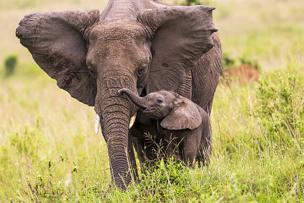 An elephant and its baby walking in long grass African Elephant and baby: Teaching in Masai Mara at Kenya.  elephant calf stock pictures, royalty-free photos & images