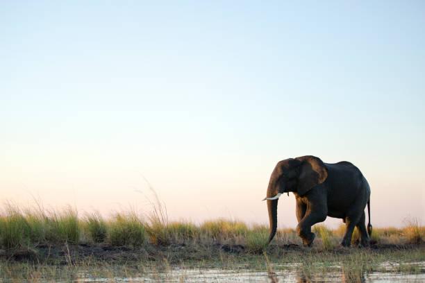 An Elephant bull walks through the shallows of Chobe River.