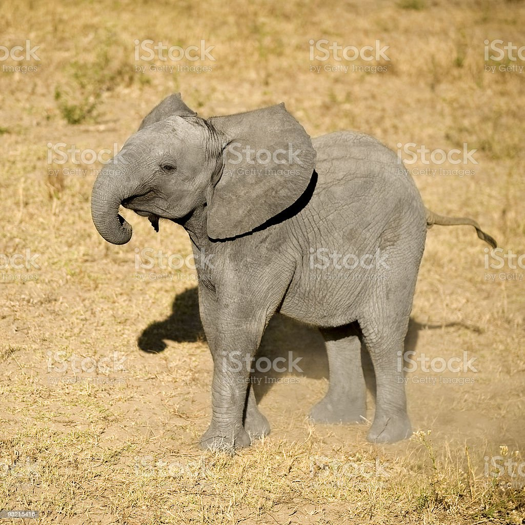 An elephant calf standing alone stock photo