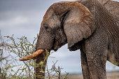 An elephant eats vegetation in the brush near the Halali Camp in Etosha National Park in Namibia, Africa. (Photo: Gordon Donovan)