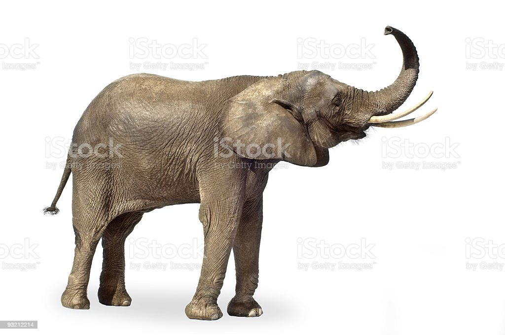 An elephant on a white background royalty-free stock photo