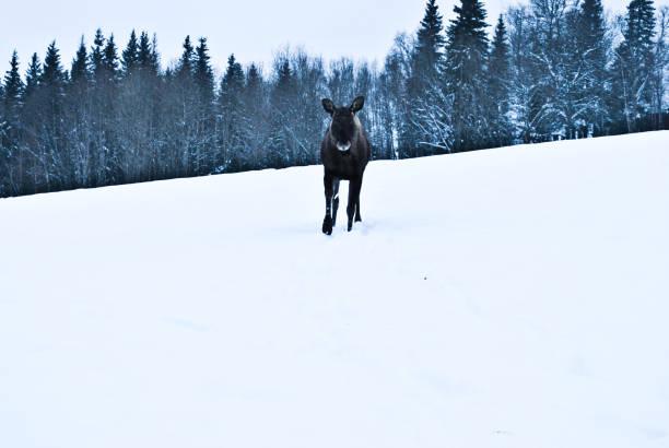 en älg i snön i östersund, sverige - älg sverige bildbanksfoton och bilder