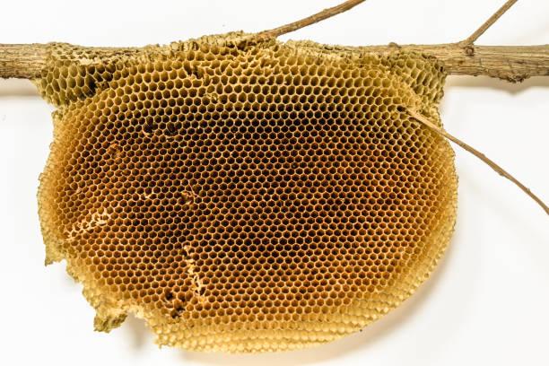 掛在樹枝上的一個空的乾淨的蜂窩, 背景是白色的 - 蜂巢式樣 個照片及圖片檔