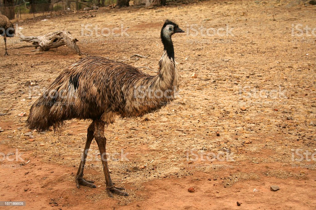 An emu standing in a dirt field royalty-free stock photo