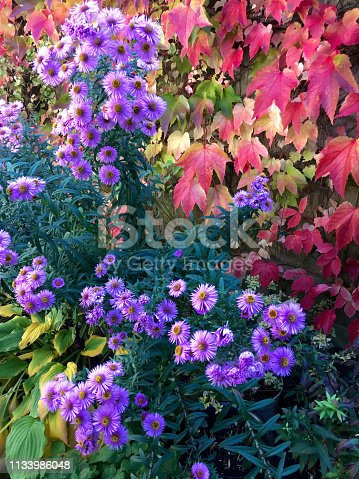 Amersham, UK - 2018: A cottage garden in autumn. The pictures are taken in October. Bright purple flowers of Michaelmas Daisy and turning red leaves of Virginia Creeper create a blaze of autumn colours