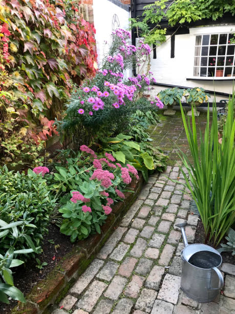 An English cottage garden Amersham, UK - Oct, 2018: A cottage garden through the seasons. Bright purple flowers of Michaelmas Daisy, dark pink flowers of Sedum and turning red leaves of Virginia Creeper create a blaze of colours sedum plant stock pictures, royalty-free photos & images