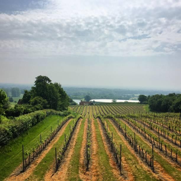 An English vineyard. stock photo