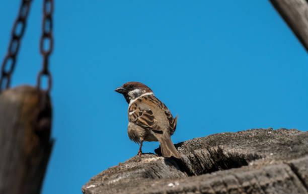An eurasian tree sparrow sitting on a piece of wood stock photo