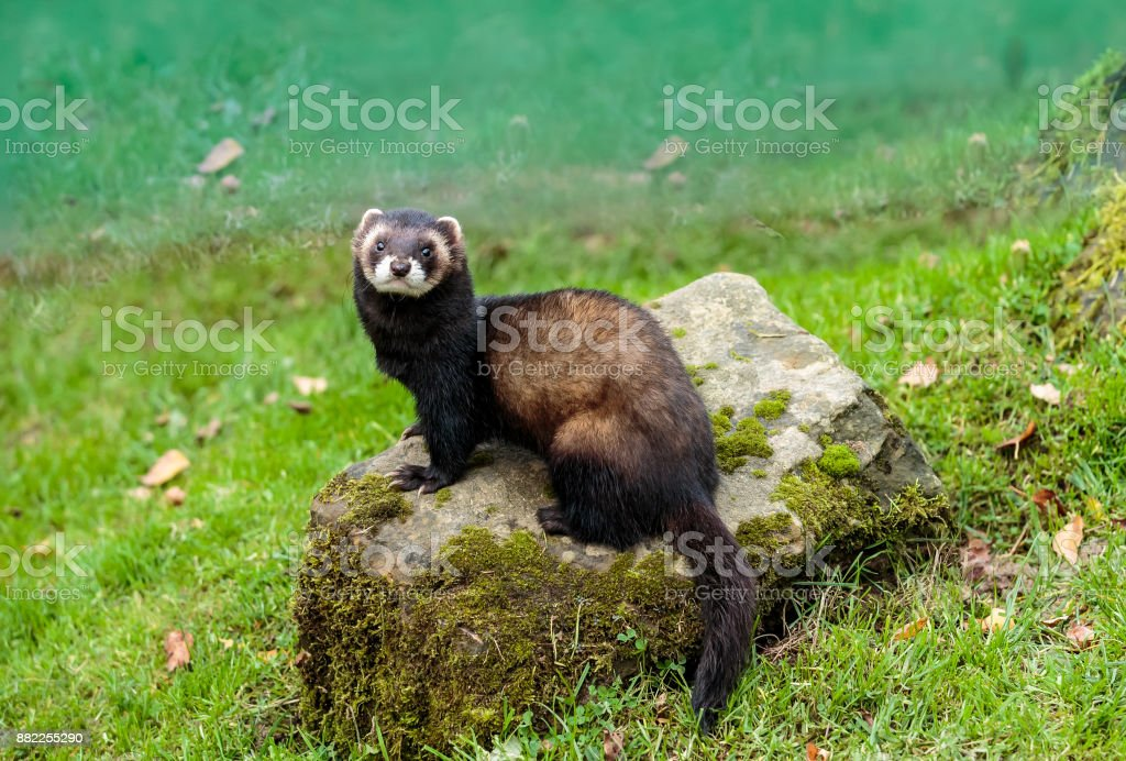 An European Polecat also known as the black or forest polecat stock photo
