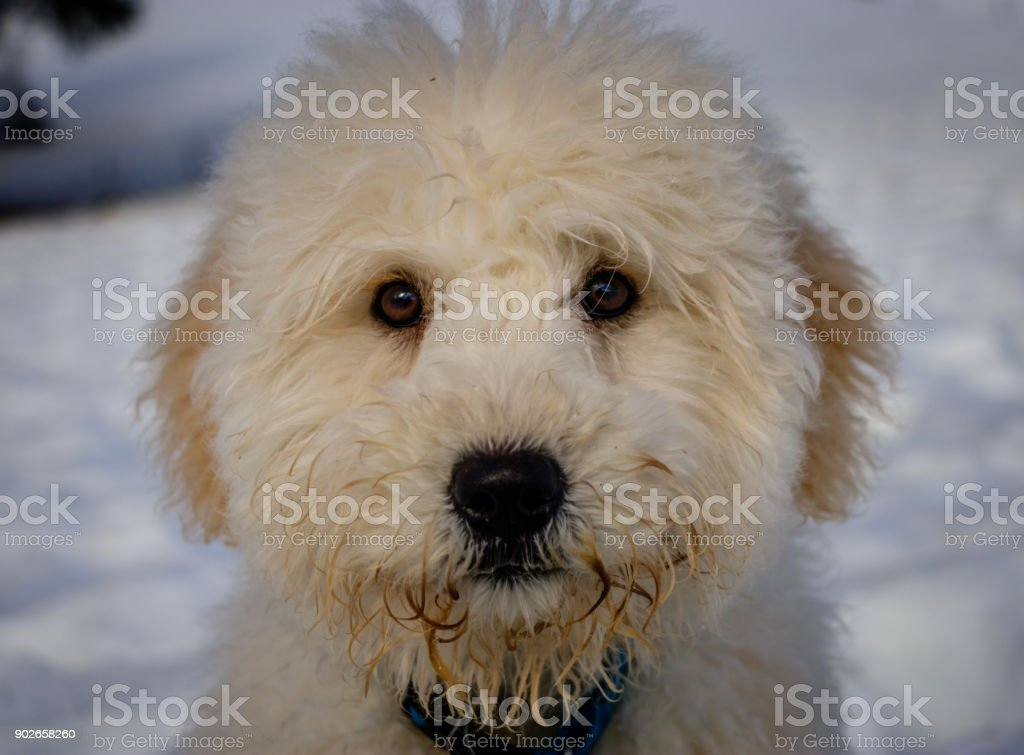 An Extremely Cute Baby Golden Doodle Looking Curious Into The Camera On A Sunny Day Stock Photo Download Image Now Istock