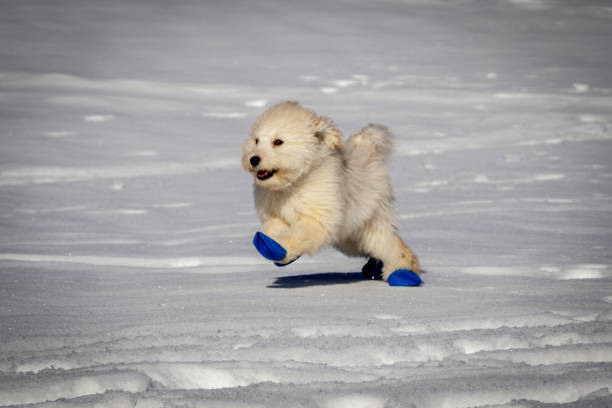 An extremely cute baby golden doodle running around on snow wearing picture id899226300?b=1&k=6&m=899226300&s=612x612&w=0&h=u5kugpoptwjfvqp3ifltw  lkeqj5nm273gtnuhgcy0=