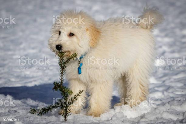 An extremely cute puppy golden doodle playing with a fir branch in picture id902657944?b=1&k=6&m=902657944&s=612x612&h=mvajkp3w2osmeaq2pvnbswxb5ifvzt5jjnjruxt6vbo=