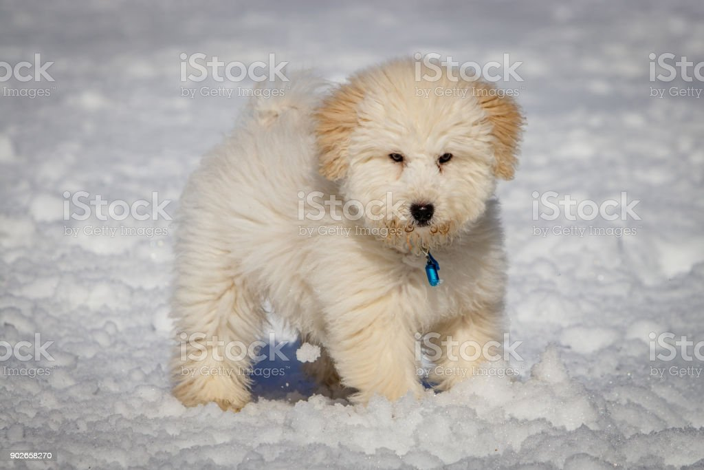 An Extremely Cute Puppy Golden Doodle Playing With Snow