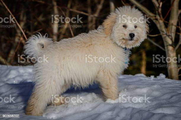 An extremely cute puppy golden doodle standing in the snow on a sunny picture id902658202?b=1&k=6&m=902658202&s=612x612&h=1utptkf1srhudqzgdrvlsn506zllxi7 mejutthart4=