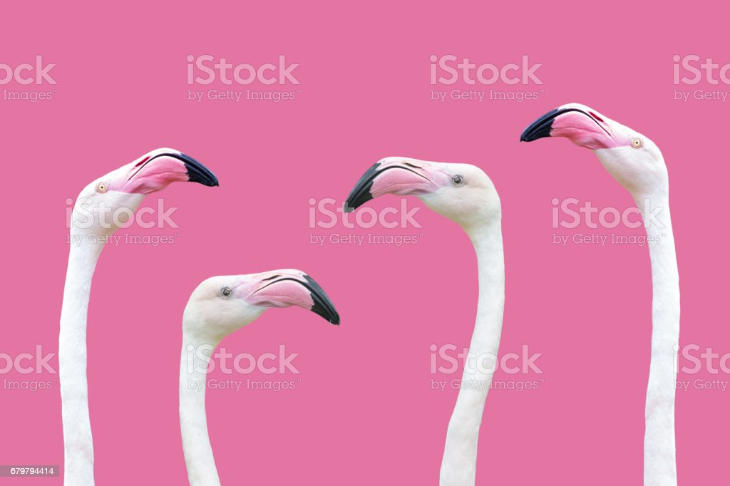 an flamingo head stock photo