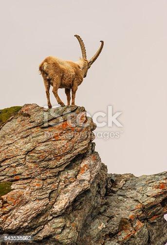An ibex (capra caucasica) on the Gornergrat mountain cliff, Zermatt, Switzerland