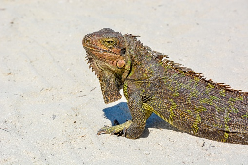 An iguana catching sun on the sand.