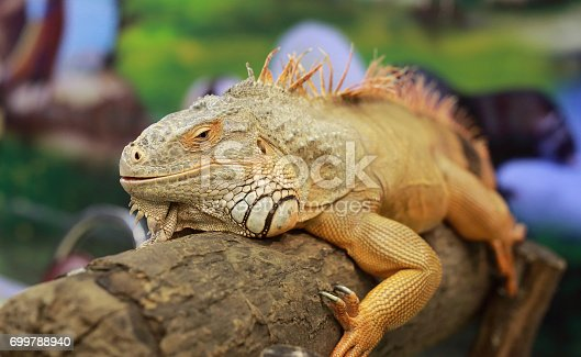 istock An Iguana poses for its portrait. 699788940