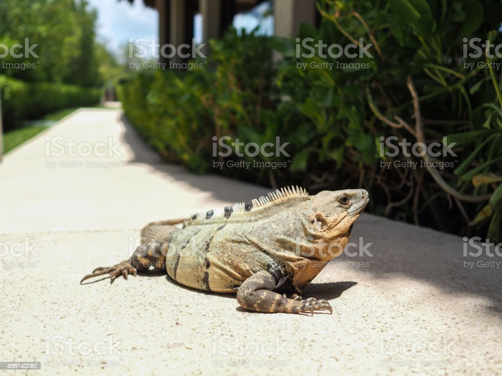 An iguana sun bathing in our hotel in mexico stock photo
