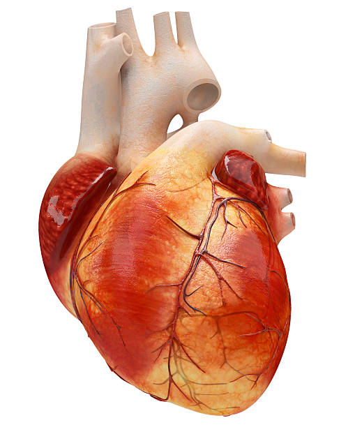 an illustration of a heart on an isolated white background - human heart stock photos and pictures
