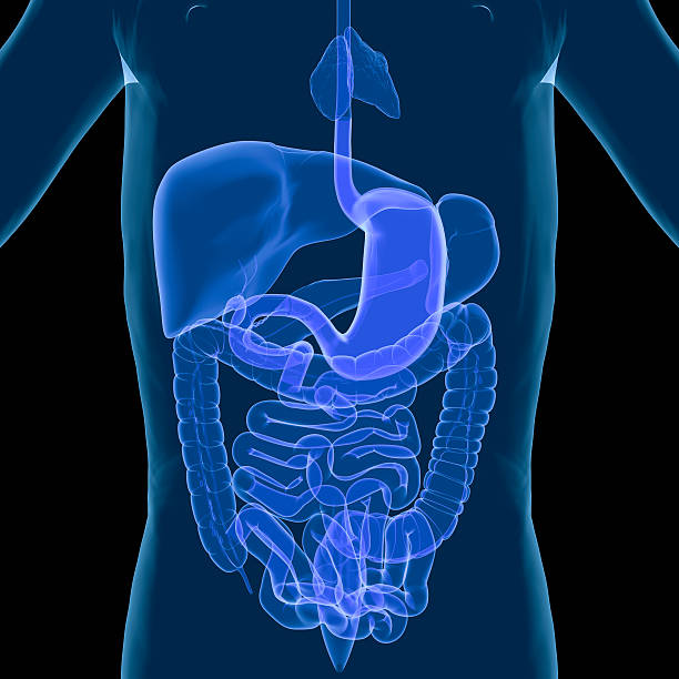 An illustration of the human digestive system stock photo