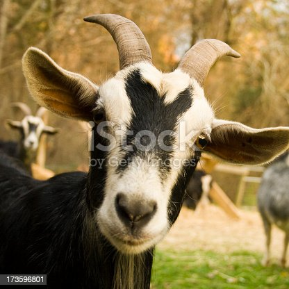 One mischievous goat. North Carolina farm in the fall. Focus on the eyes. Shallow depth of field.