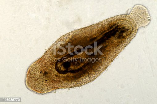Photomicrograph of flatworm,