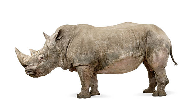 An image of a White Rhinoceros on a plain white background White Rhinoceros - Ceratotherium simum ( +/- 10 years) in front of a white background. rhinoceros stock pictures, royalty-free photos & images