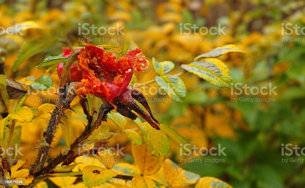 An image of rose hips in autumn stock photo