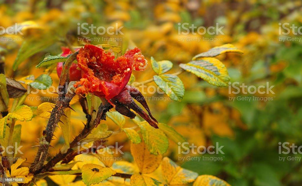 Ein Bild von Hagebutte im Herbst – Foto