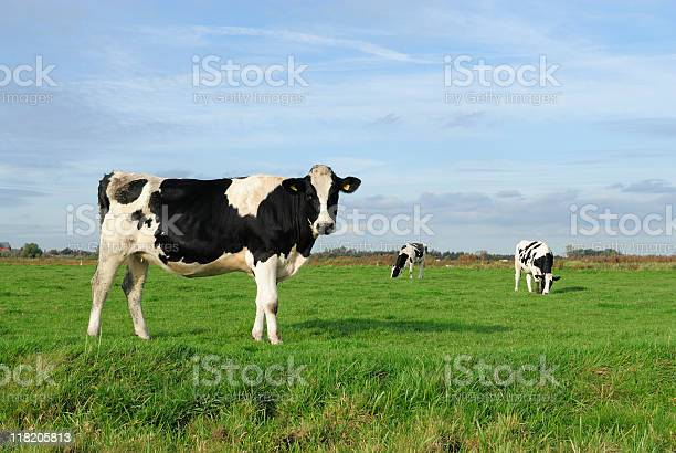 An image of three cows in a meadow picture id118205813?b=1&k=6&m=118205813&s=612x612&h=cs9hsw7eezyfc116pvoud05f6rtxopiynyyxdn14v9q=