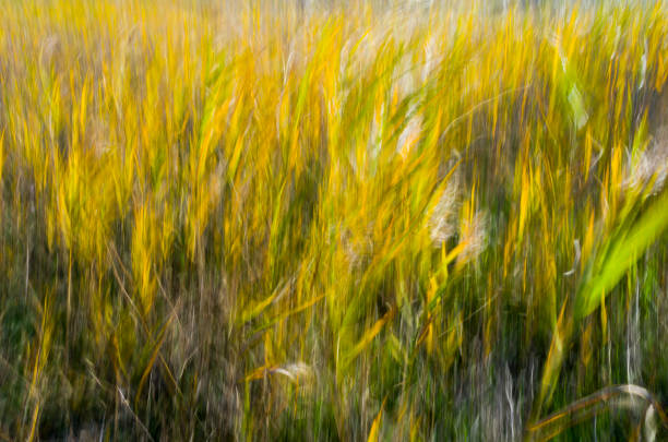 An impressionistic photo of the reeds in the wind stock photo