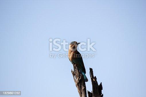 istock An Indian Roller aka Coracias benghalensis 1329861252