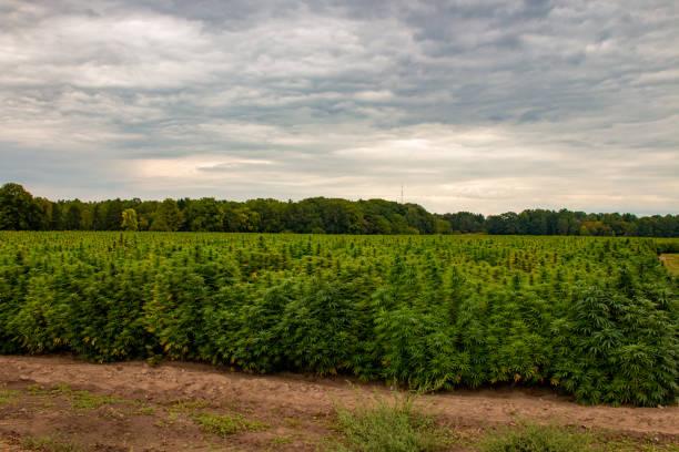 An industrial hemp field in Ontario Canada. Marijuana was recently legalized in Canada stock photo