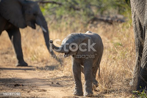 A young elephant calf coming to investigate us. The trunk extended trying to smell and the ears extended to try and intimidate.