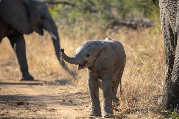 An inquisitive young Elephant calf A young elephant calf coming to investigate us. The trunk extended trying to smell and the ears extended to try and intimidate. elephant calf stock pictures, royalty-free photos & images